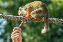 A Small Squirrel Monkey Sits On A Rope And Reaches For A Wooden Handle From A Human