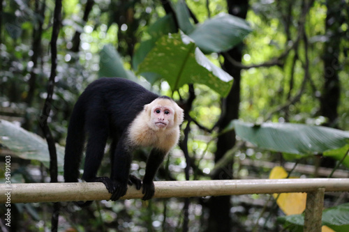 The Panamanian white-faced capuchin (Cebus imitator), also known as the Panamani Fototapeta