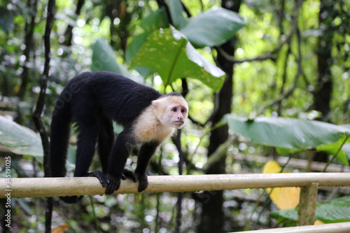 The Panamanian white-faced capuchin (Cebus imitator), also known as the Panamani Slika na platnu