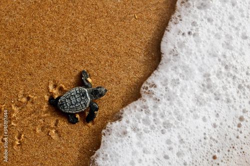 Hatchling newborn loggerhead sea turtle (caretta caretta) crawling on the sand t Fototapeta