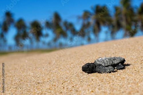 Fototapeta Hatchling loggerhead sea turtle (caretta caretta) crawling on the sand to the se
