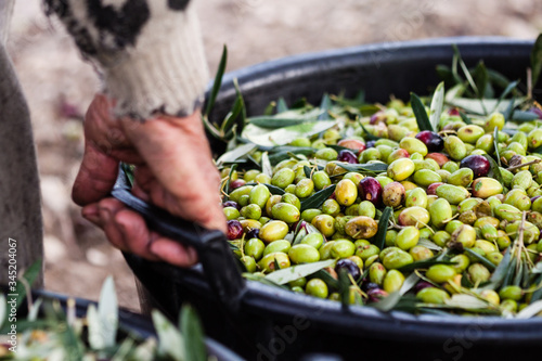 Fotografiet Raccolta olive verdi in Puglia, Italia