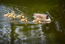 Canada Goose And Goslings Swim...