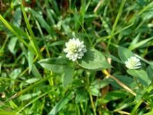 Alba, Antidote, Asteraceae, Ay...