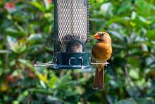 Brown Female Northern Cardinal...