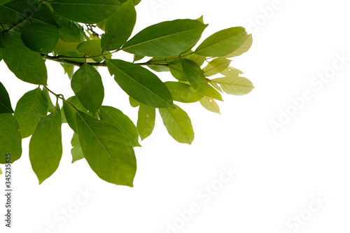 Fototapety, obrazy: Green tree branch isolated on white background, nature leaf frame.