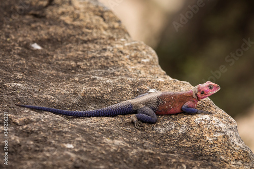 Photo Colorful agama reptile during safari in National Park of Serengeti, Tanzania
