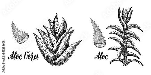Photo Aloe Treelike and Aloe Vera Sketch