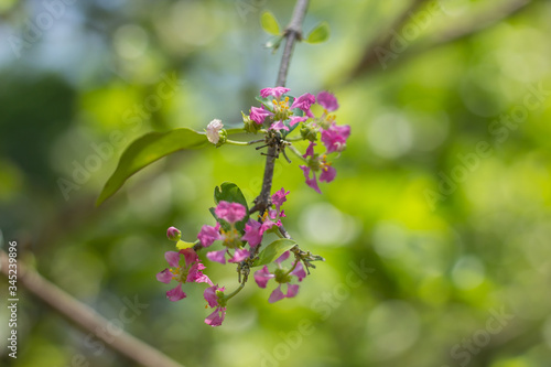 Photo Pink Flower of Barbados or Acerola Cherry flower
