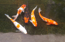 Multi-colored Carps Fish Swim On The Surface Of The Water