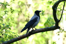 A Crow On A Tree Branch Among Spring Green Sprouts