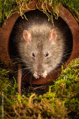 Fényképezés A common brown rat, Rattus norvegicus, just emerging from a drainpipe