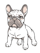 Cute French Bulldog. Vector Illustration