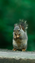 Portrait Of A Cute Squirrel In Stanley Park, Canada. Wildlife Photography In The Park. Feeding The Mammals. Funny And Fluffy Eastern Gray Squirrel