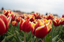 Growing Tulips, Field Of Red T...