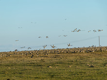 A Flock Of Geese Eating On A Field