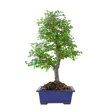 Chinese Elm Bonsai In Early Spring