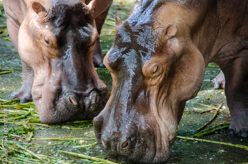 two wet hippos close-up eating grass at the zoo Canvas Print