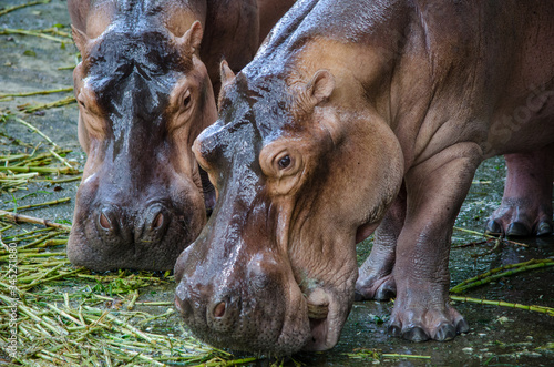 two wet hippos close-up eating grass at the zoo Fototapet