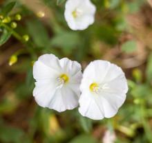 White Flowers. Calystegia Sepium.