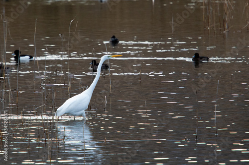 aigrette au lac du bourget Canvas Print