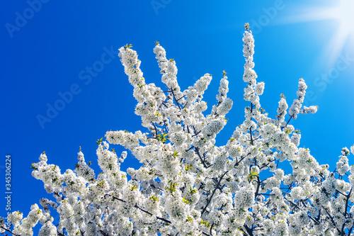 Fototapeta Krone eines blühenden Kirschbaums aus der Froschperspektive vor blauem Himmel un