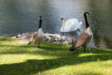One Swan And Two Geese As Odd Friends At A River