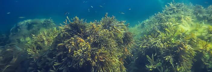 podvodni krajobrazni greben s algama, more sjever, pogled u hladnom morskom ekosustavu