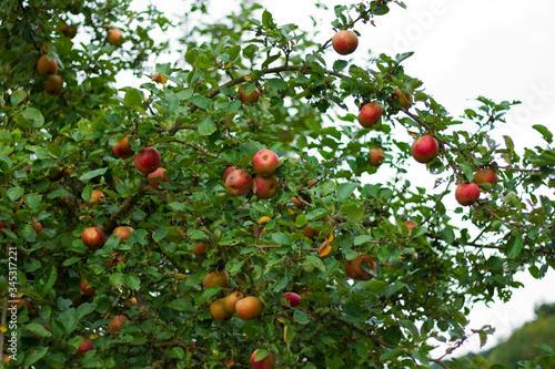 Frische Äpfel an apfelbaum Wallpaper Mural