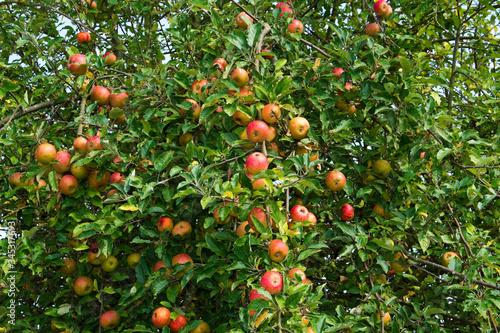 Photo Frische Äpfel an apfelbaum