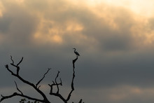 Silhouette Of A Great Blue Her...