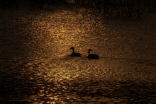 Silhouette Of Geese On The Lake
