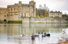 Black Swans Swimming On The La...