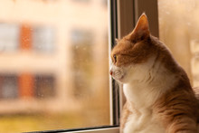 Red Cat Looks Out The Window