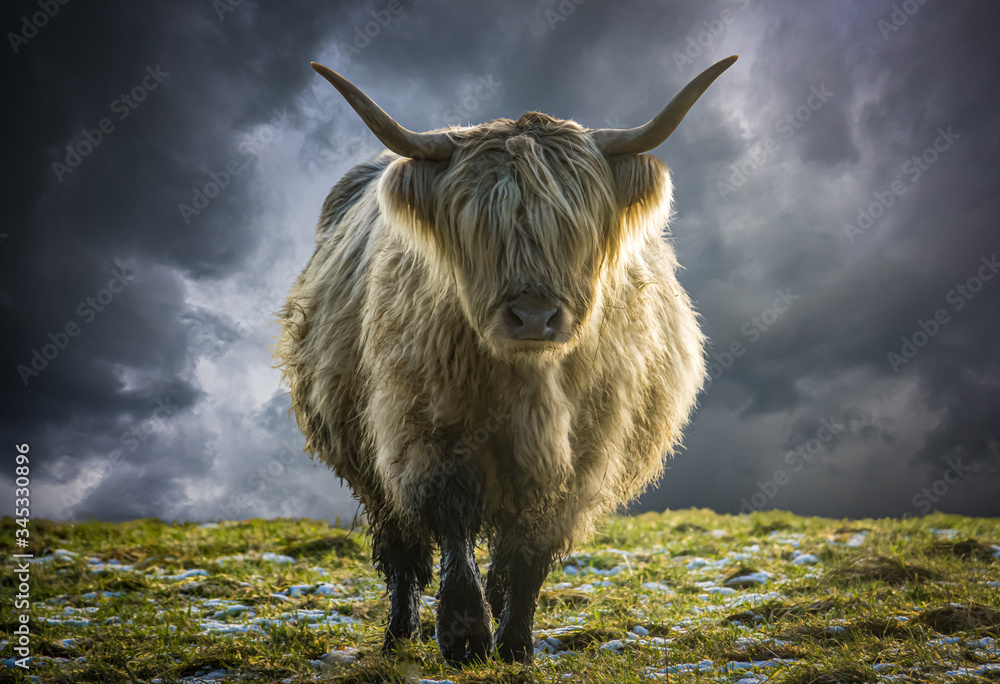 Fototapeta Scottish Highland Cow In Winter