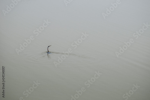 Valokuva Oriental darter