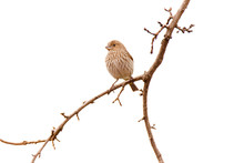 Female House Finch Perching On...