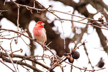 Male House Finch Perching On A...