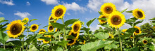 Sunflowers In Front Of Blue Sky With A Few Clouds