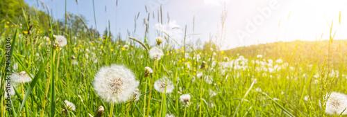Fototapeta Idyllic flower meadow with blowball flowers, scenic sunbeams and lens flare obraz