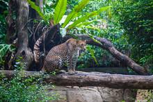 Leopard In A Natural Habitat, Prepared For A Jump On Prey