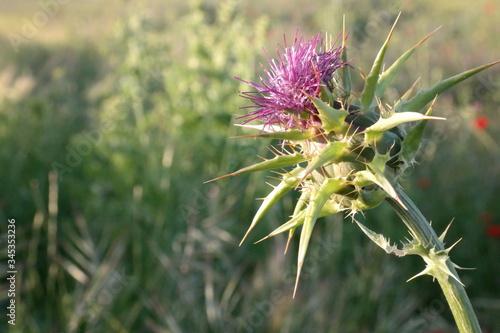 Fototapeta oset roślina zieleń fiolet wiosna  obraz