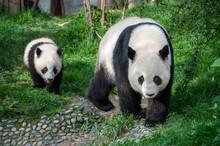 Mother Panda Walking With Panda Cub