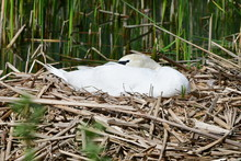 Close Up Of Swan Sitting On Eggs