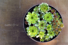 Houseleeks (Sempervivum Succul...