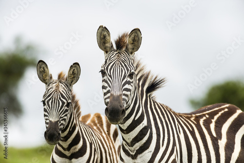 Vászonkép A pair of common plains zebra (equus quagga), Kenya, East Africa