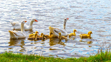 Geese With Small Goslings Swim...