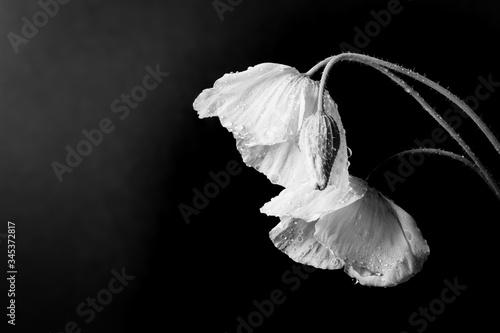 Photo Poppy Flower, Black & White