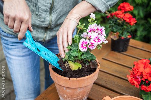 Fotografia Woman planting geranium into flower pot