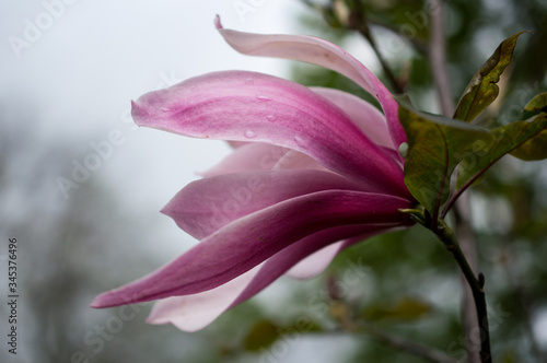 Obraz Różowy kwiat magnolii - fototapety do salonu